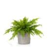 boston fern in grey ceramic pot