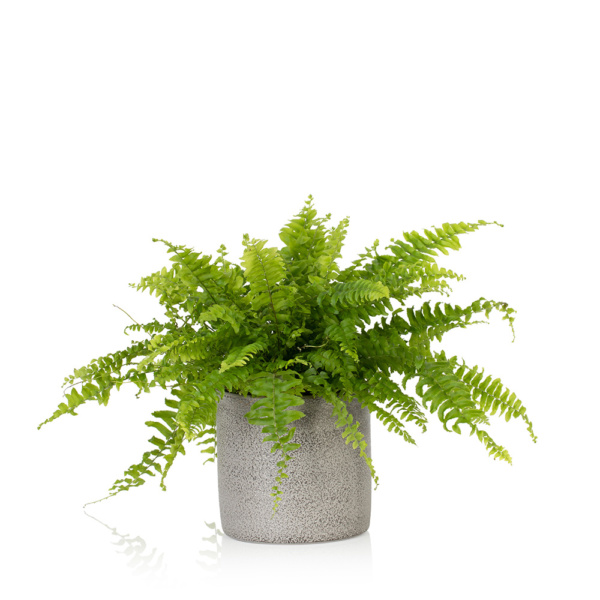 boston fern in grey ceramic pot