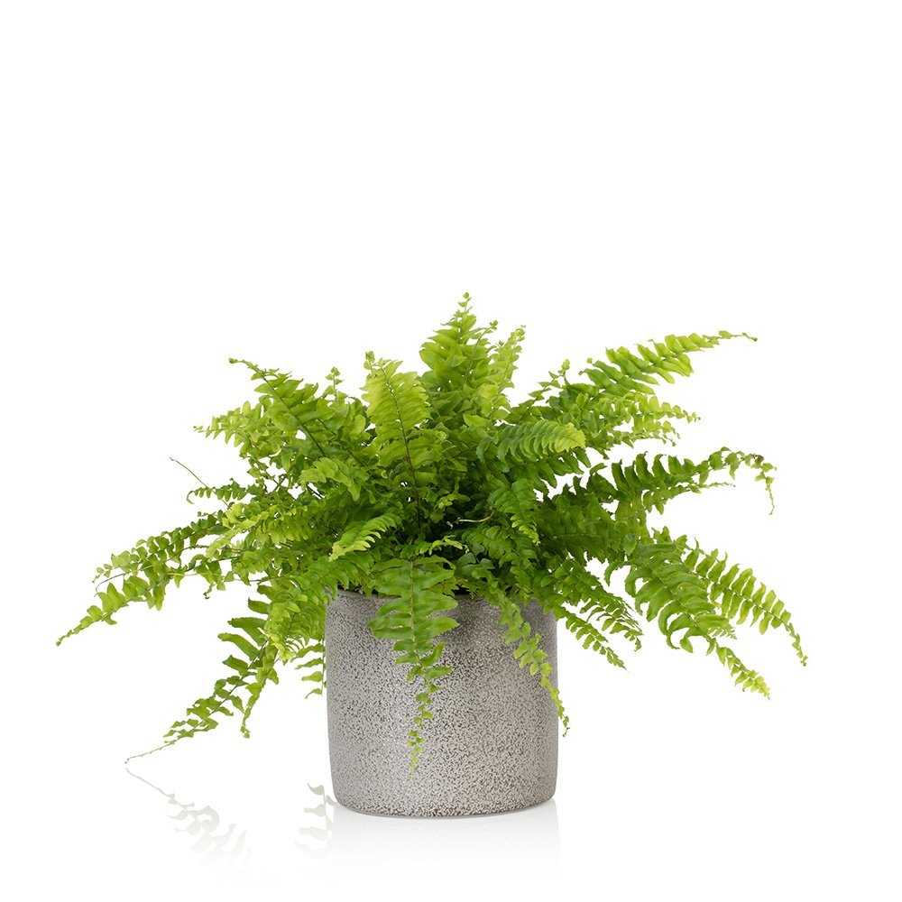 "Picture of Live Boston Fern aka Nephrolepis exaltata Plant Fit 4"" Pot"
