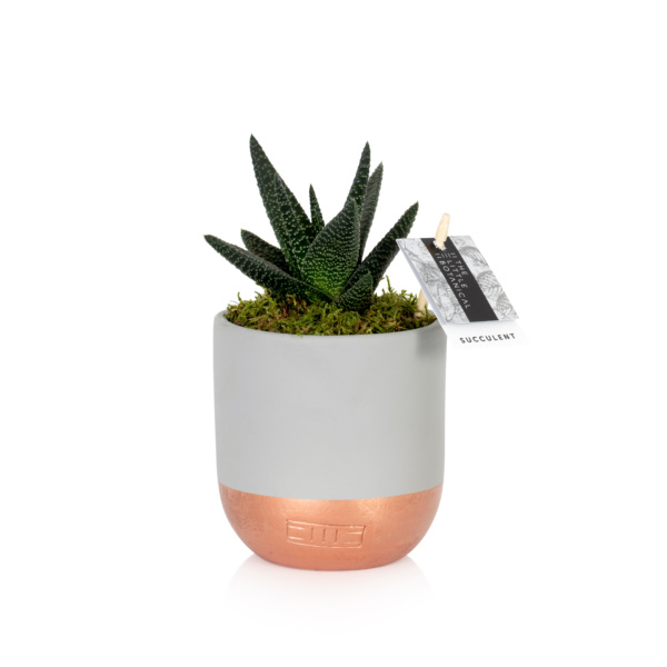 Aloe Succulent in copper dipped ceramic pot