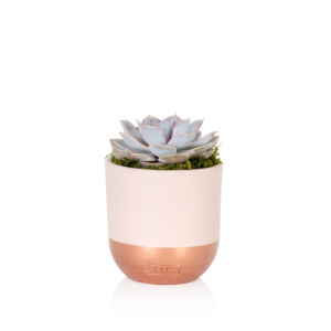 Lilacina succulent in pink and copped dipper ceramic pot