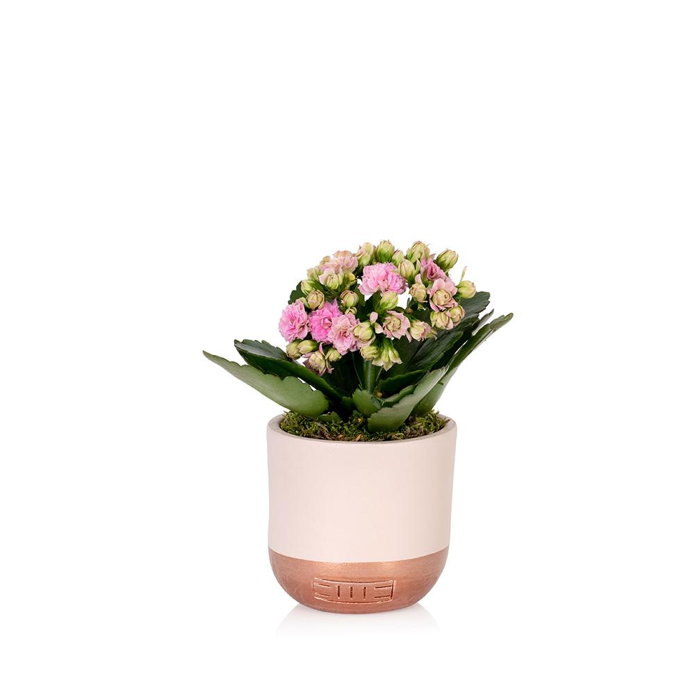 Mini Pink Kalanchoe