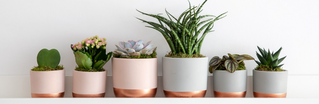 row of succulents with Sansevieria Punk as the main feature next to Lilacina