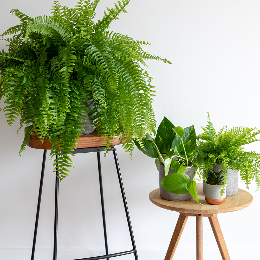 Boston Fern on wooden stool with black legs next to wooden stool with three other plants, including a small Boston Fern