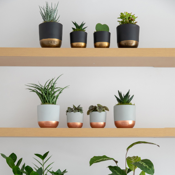 Shelves with lots of succulents in pots including Mini Miranda in black and gold pot