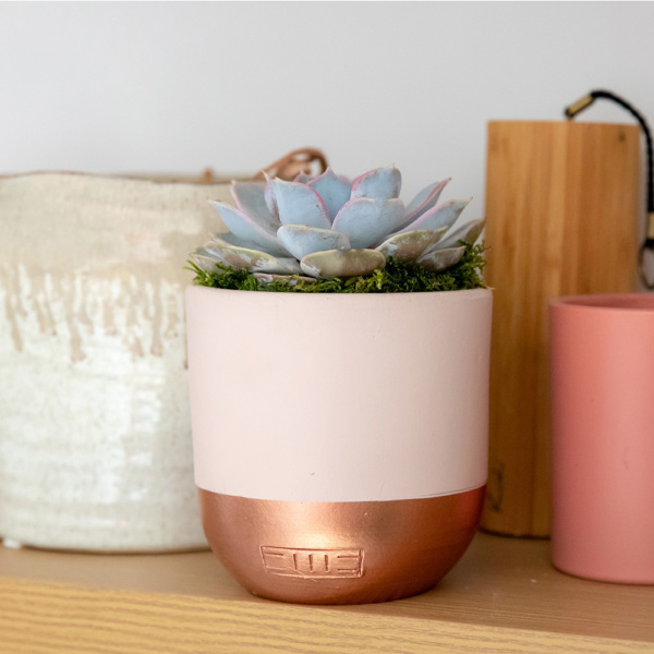 Lilacina succulent in pink and copped dipper ceramic pot on a shelf with other pots