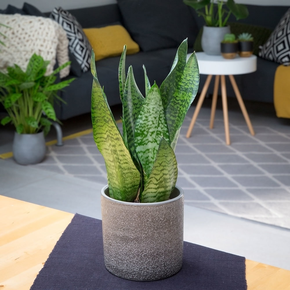 Snakey Sansevieria in a grey pot