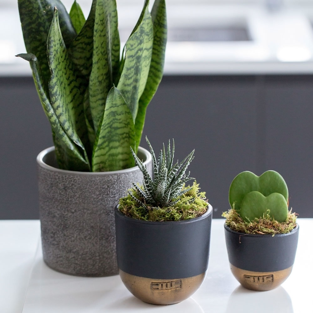 Group of three plants, one is sanseviereia spikey in a grey pot, another is the sanseviereia punk in a black and gold dipped pot and the third is a double heart succulent in a black and gold dipped pot.