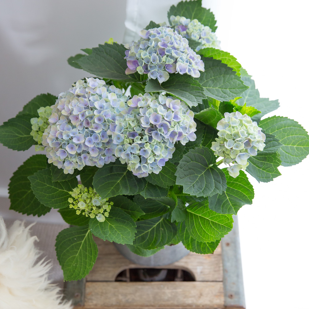 blue magical Hydrangea in a grey pot on a small wooden table