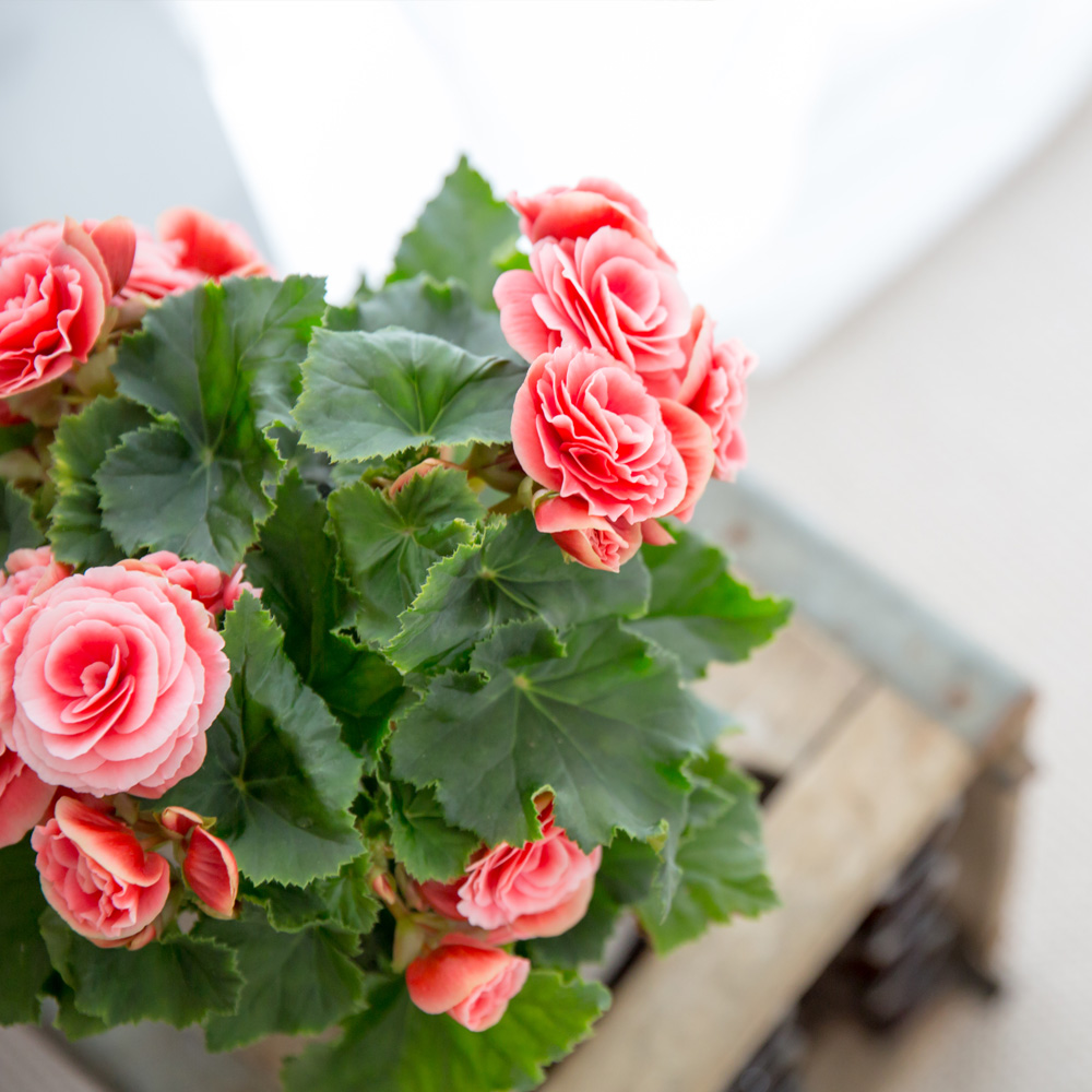 bright pink Begonia in a pot on a wooden table