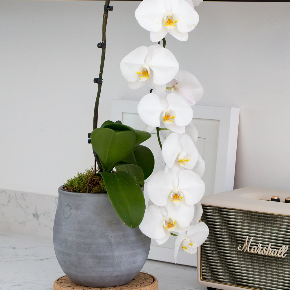 Royal White Orchid with cascading flowers, planted in a grey ceramic pot and sat on a kitchen marble worktop with a Marshall radio in the background and shelf of glassware above