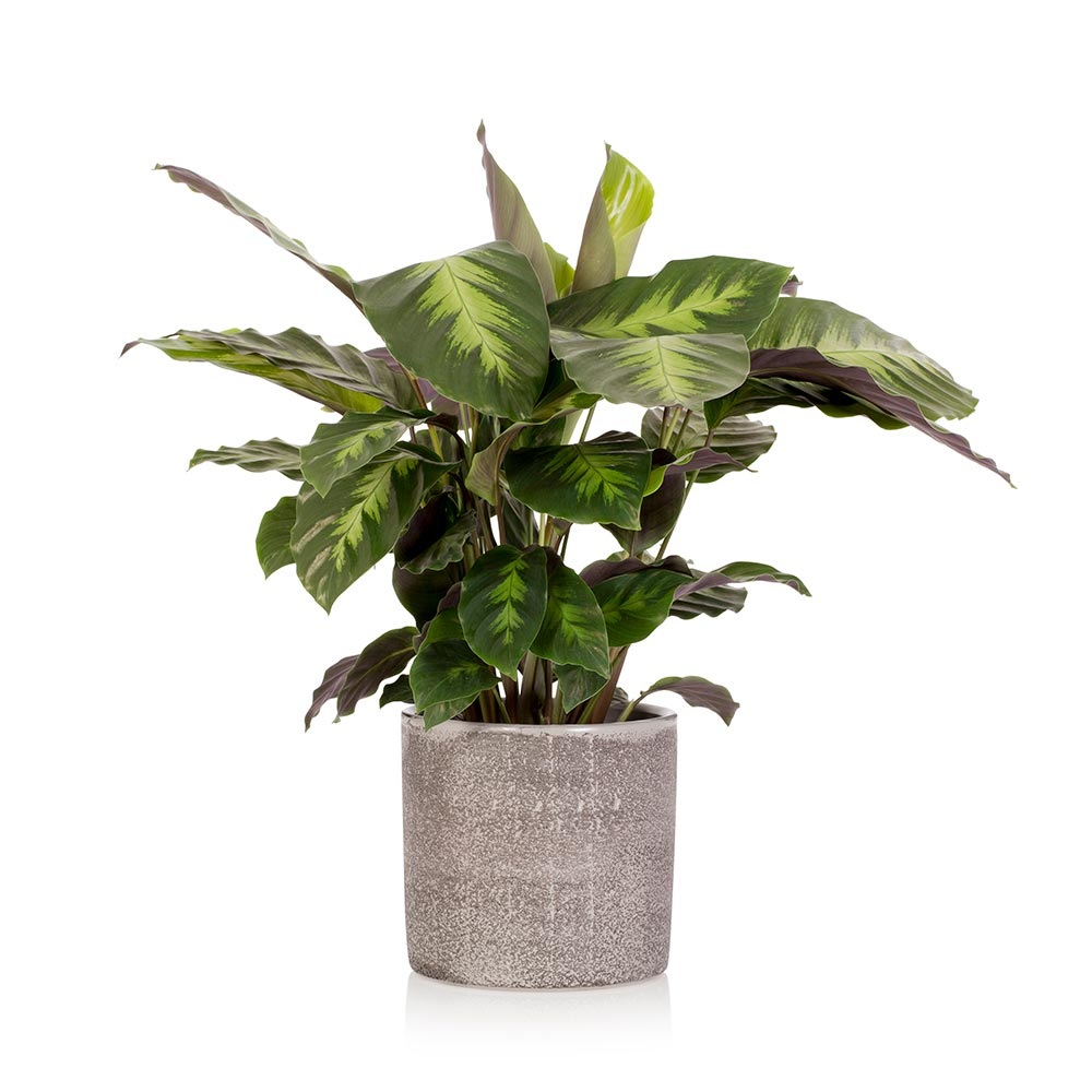 Large Calathea plant in a grey pot