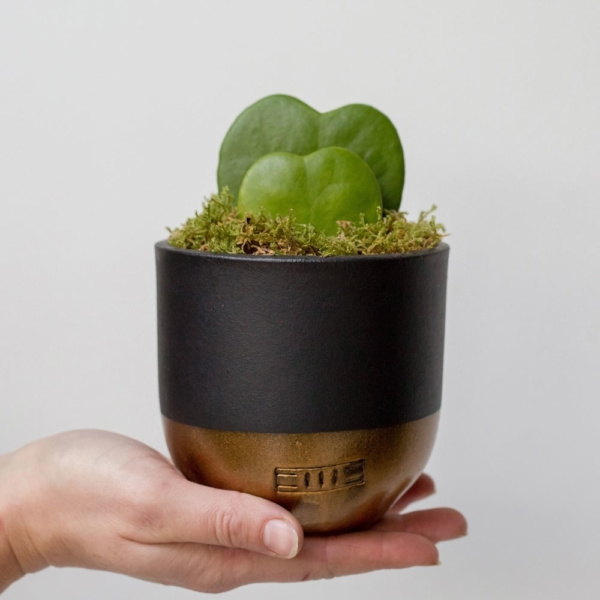 Hoya Kerrii double heart succulent in black and gold dipped ceramic pot held by a person on their outstretched palm