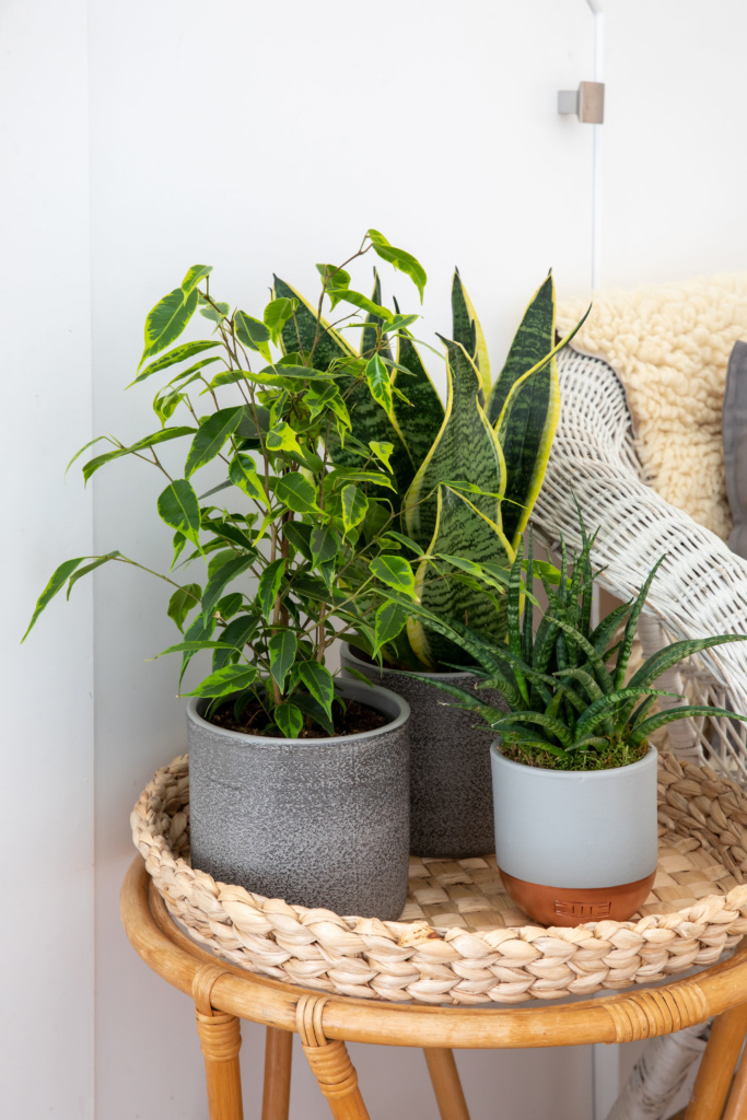 Air purifying plants including ficus benjamina