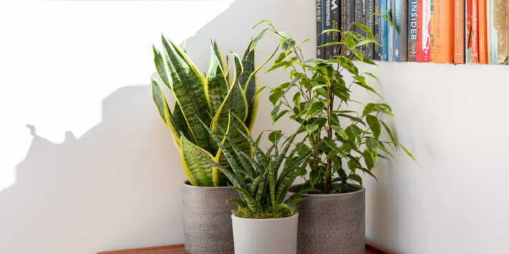 Group of three air purifying plants - Snakey Sansevieria, Sansevieria Punk and Ficus Benjamina