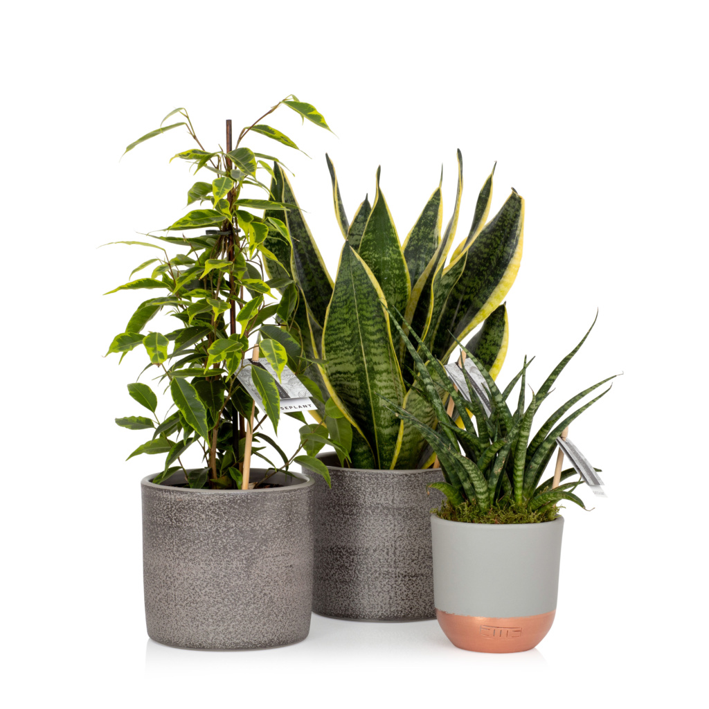 Group of three plants with air purifying qualities - Ficus Benjamina, Snakey Sansevieria, Sansevieria punk.