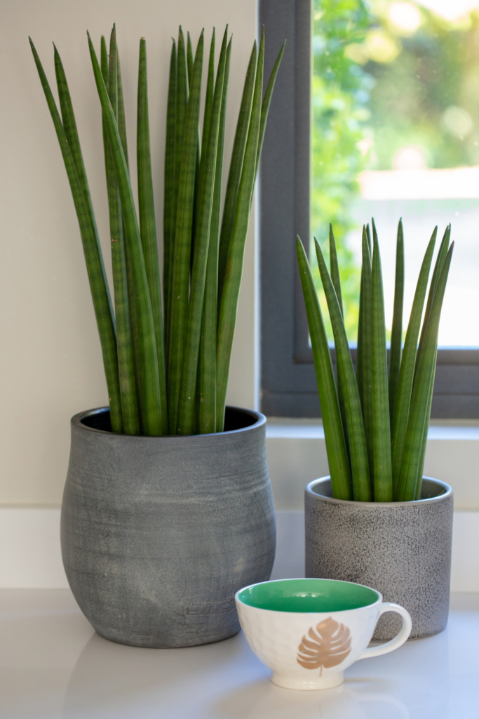 Countertop with a large spiky sansevieria in a rounded concrete pot, and a medium sansevieria in a straight grey pot, with a teacup in front of both.