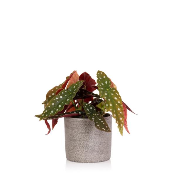 Begonia Maculata Houseplant
