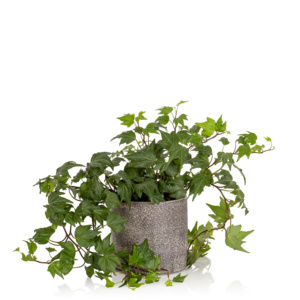 English Ivy Houseplant