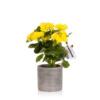 Begonia Yellow Houseplant