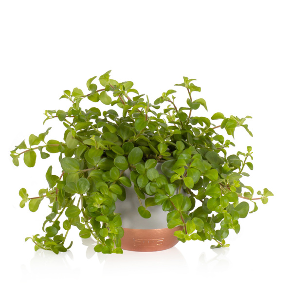 Medium Peperomia Rotundifilia