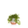 Mini Peperomia Rotundifolia