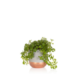 Mini Peperomia Rotundifolia