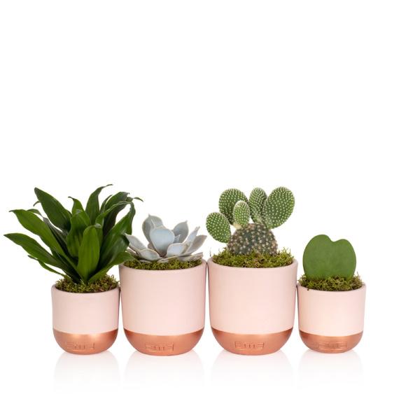 Medium Cactus Pink