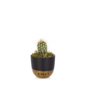 Mini Cactus in Black and Gold Pots