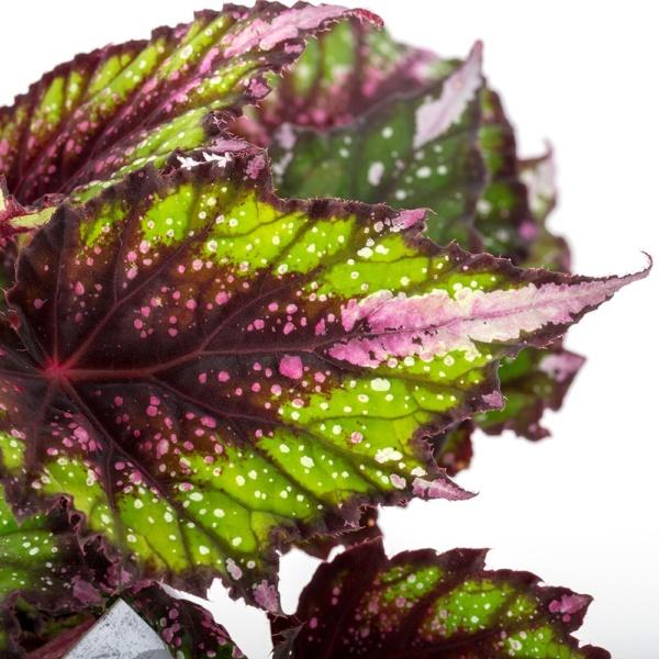 Close up begonia beleaf