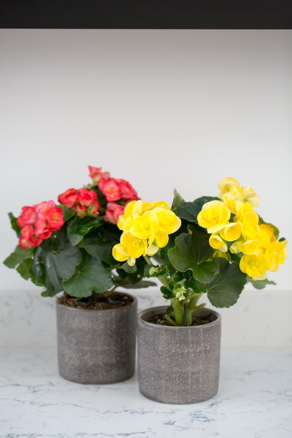 Begonia Yellow Houseplant
