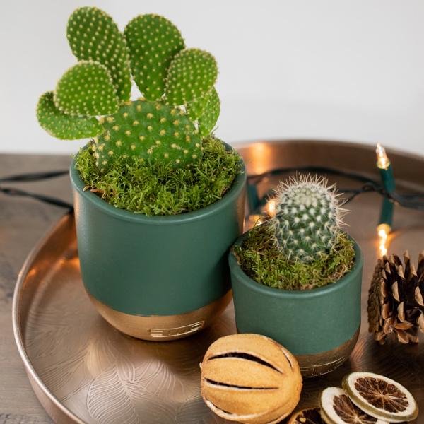 Bunny ear cactus succulents on a tray