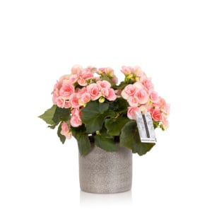 flowering light pink begonia in grey pot