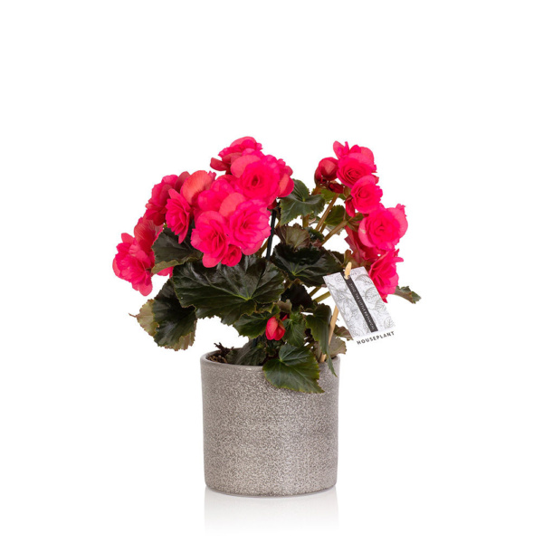 flowering bright pink begonia in grey pot