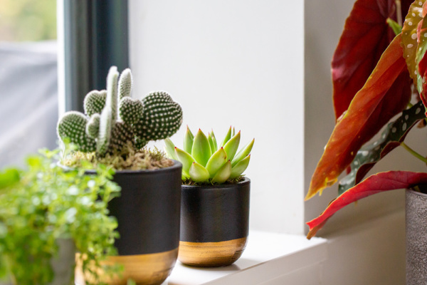 succulents and cactus on windowsill