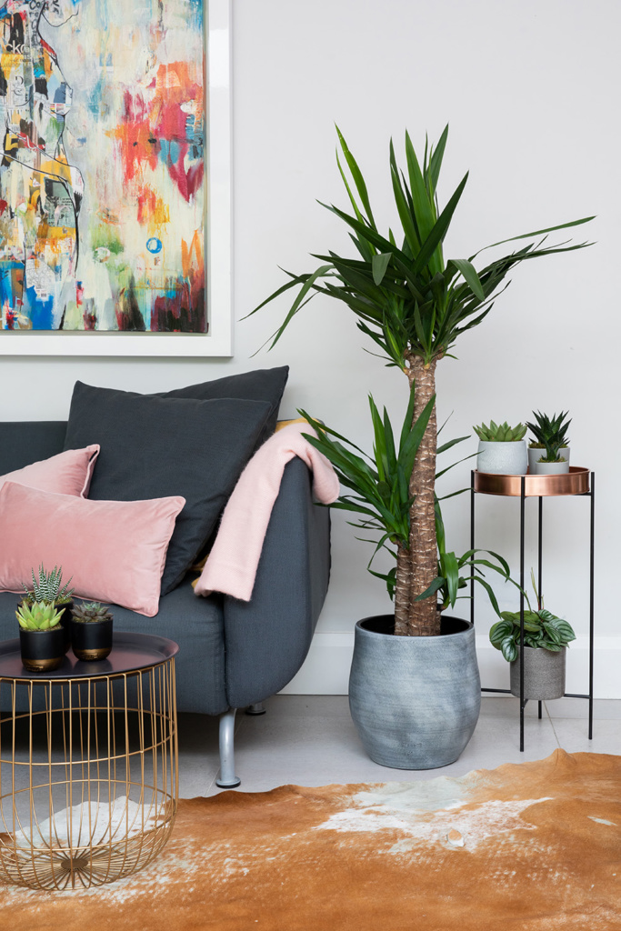 large yucca plant in grey pot on floor next to sofa