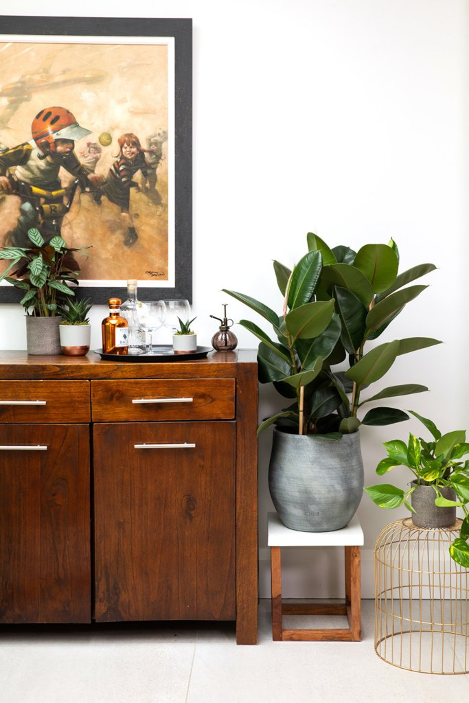 xl ficus elastic rubber plant in grey pot on plant stand next to bureau