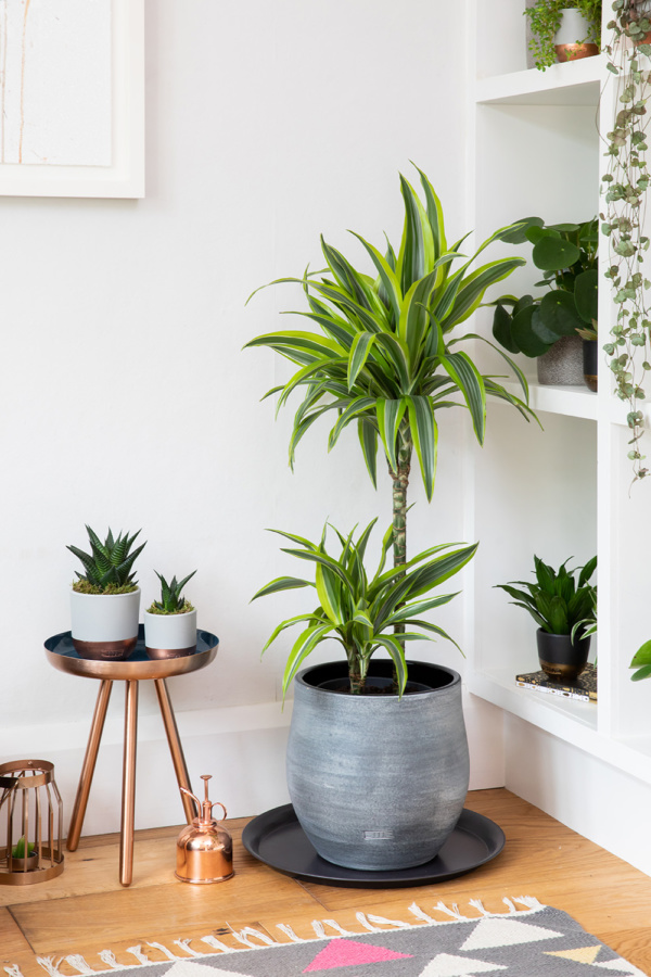 Large Lemon & Lime Dracaena in grey Ceramic pot