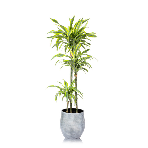 XL Lemon & Lime Dracaena in a Ceramic pot