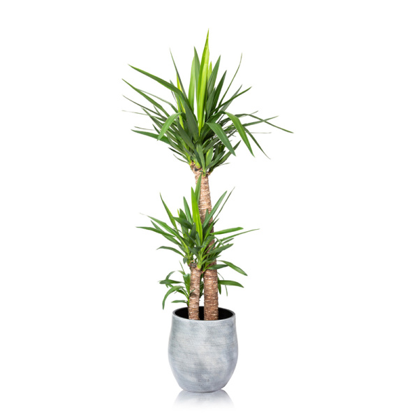 Extra Large Yucca House Plant in Pot