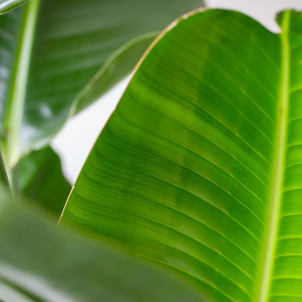Extra Large Strelitzia Bird of Paradise in Ceramic Pot close up of leaves