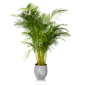 Extra Large Areca Palm in grey Ceramic pot