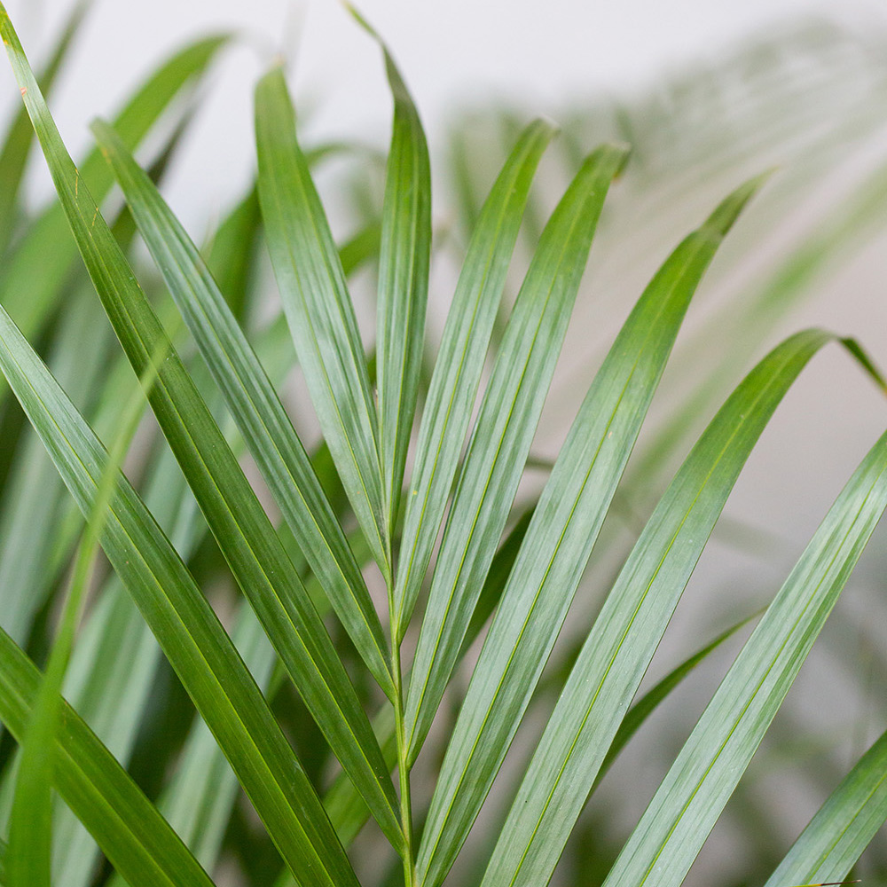 Close up of Areca Palm leaves