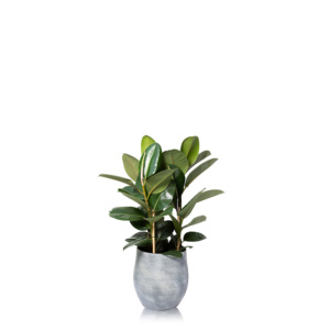 Extra Large FIcus Elastica (Rubber Plant) in grey Ceramic pot