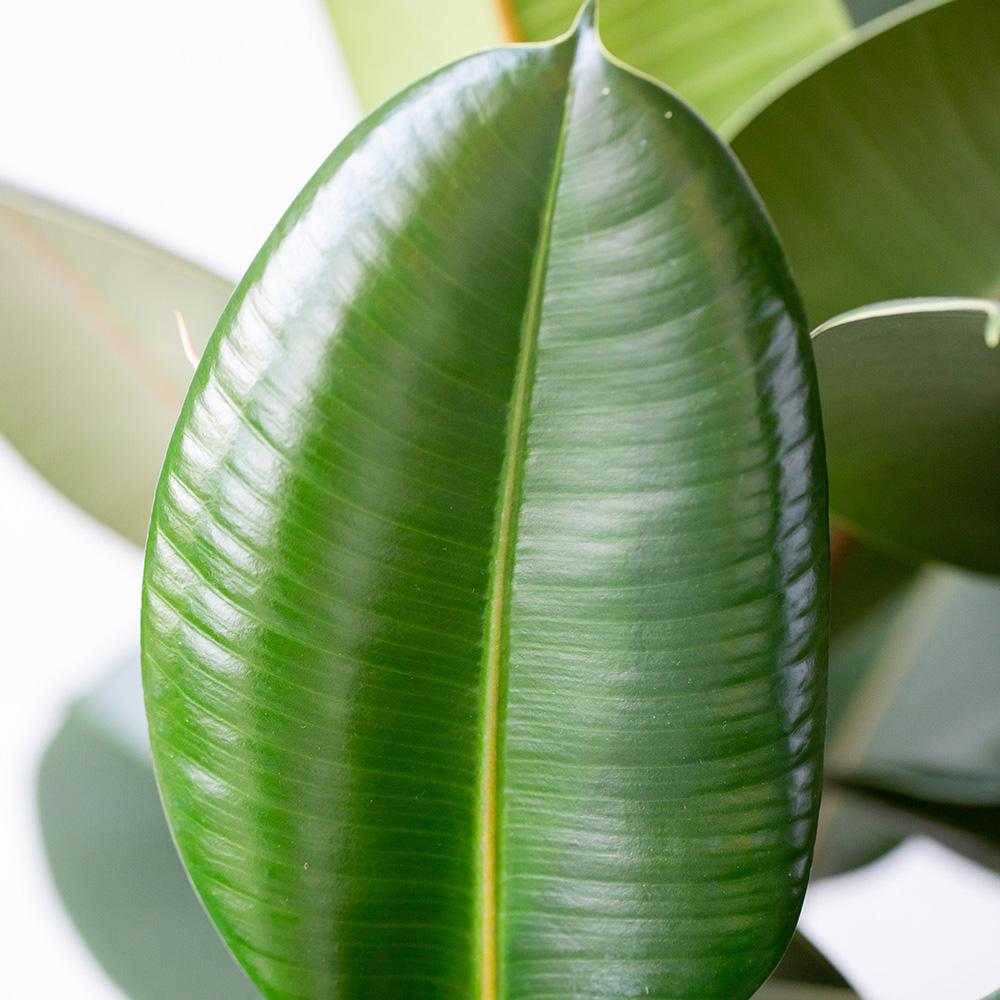 large ficus elastica leaf close up