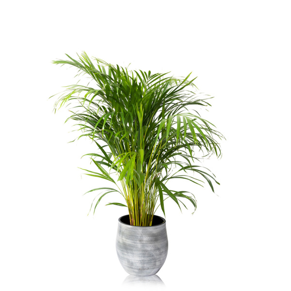 Large Areca Palm in a grey pot