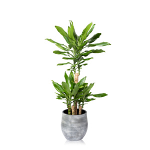 Large Dracaena Ceramic grey pot