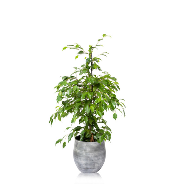Large Ficus Benjamina Ceramic grey pot