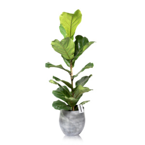 Large Fiddle Leaf Fig in Ceramic pot