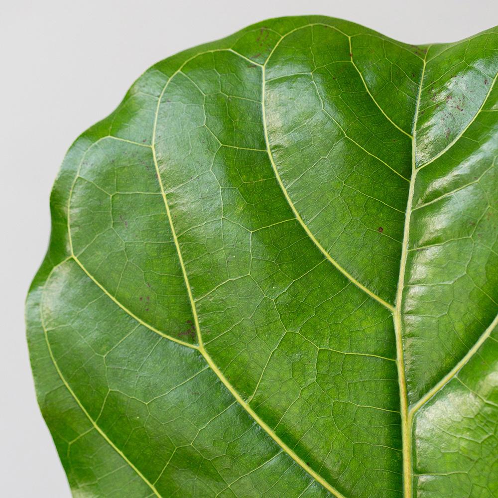 Large Fiddle Leaf Fig in Ceramic pot
